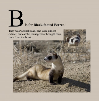 B is for Black-Footed Ferret